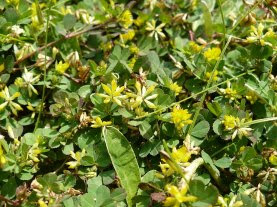 Koniczyna drobnogłówkowa Trifolium dubium