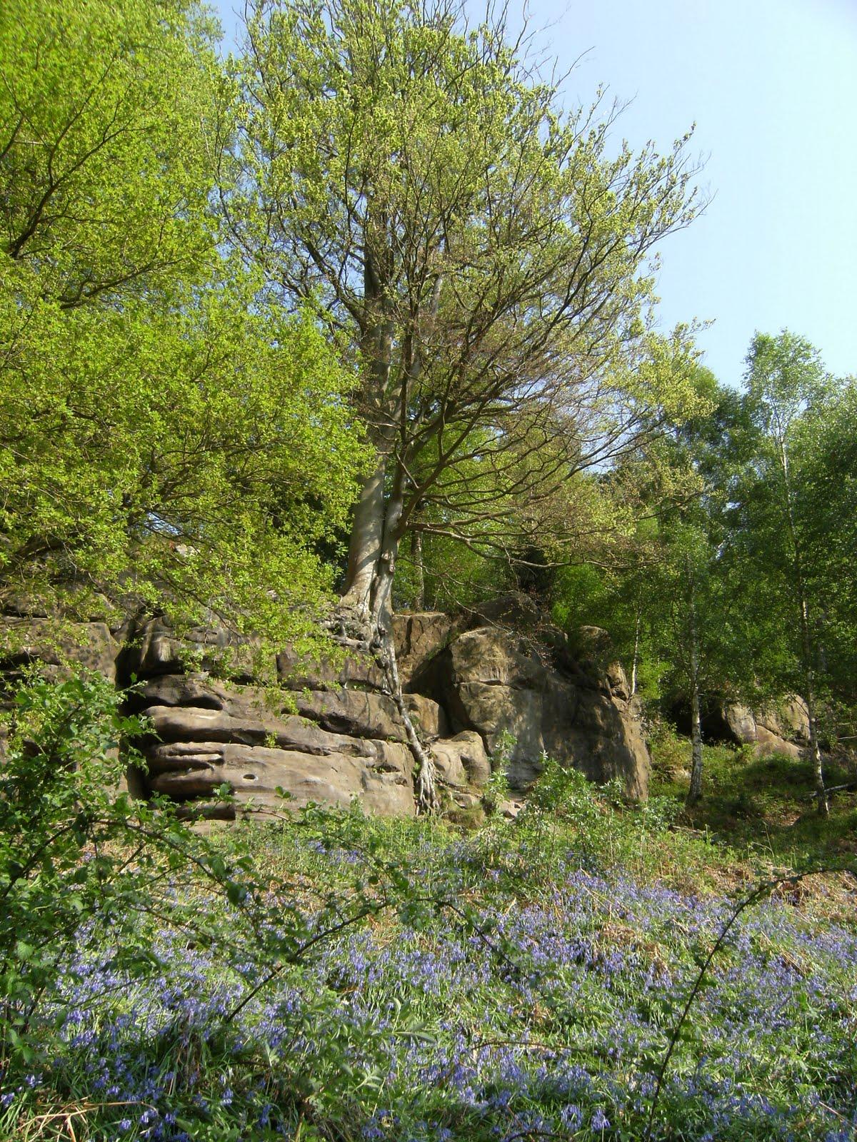 DSCF7489 Bluebells at Harrison's Rocks