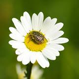 Cetoniidae : Oxythyrea funesta PODA, 1761. Hautes-Lisières (Rouvres, 28), 30 avril 2011. Photo : J.-M. Gayman