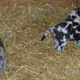 Gretta & Cobalt Blues 3/24/12 litter - SAM_3410.JPG