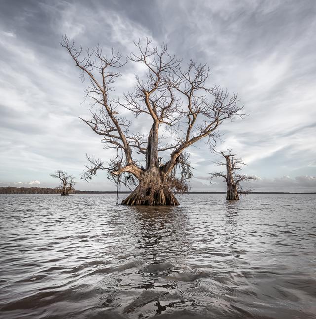 Dead cypress trees in Louisiana's Atchafalaya Basin. Photo: Martyn Lucas