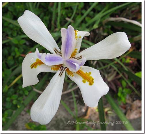05-24-iris