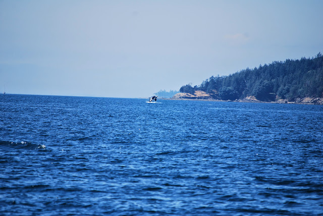 An orca whale at play off the coast of Saturna Island / Credit: Bellingham Whatcom County Tourism