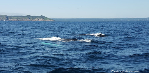 whale watching in Newfoundland. See the light green shape? That's a baby, under the water