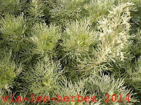 Armoise arborescente Artemesia.jpg