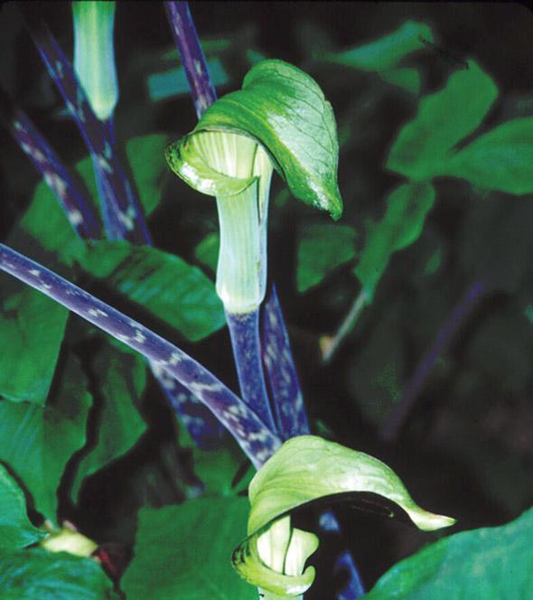 Arisaema triphyllum.