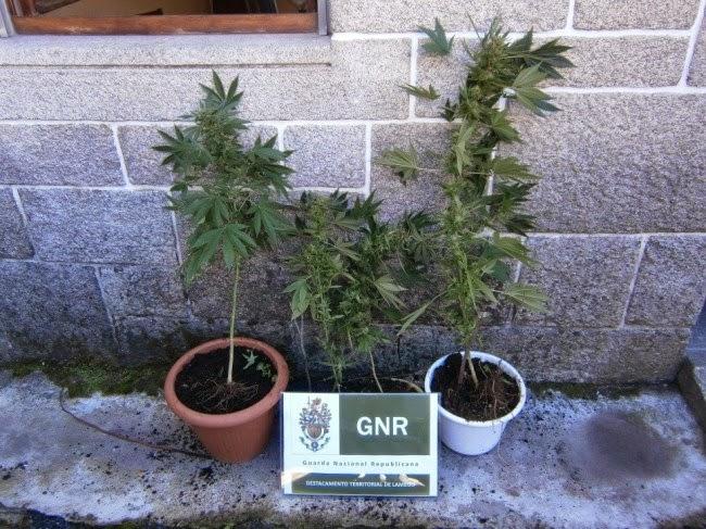 Apreensão de plantas de cannabis