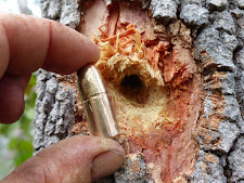 500 grain Woodleigh solid from a 470 NE, passed right through a buffalo bull and then buried itself in this tree 50 yards behind the buffalo. Great penetration!!