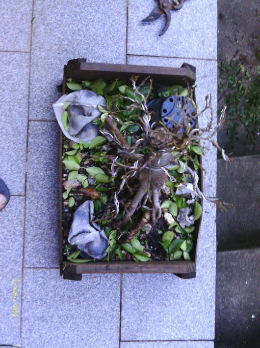Ficus Microcarpa var. Indica... IMAG0324