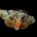 Geometridae : Oenochrominae : Oenochroma lissoscia TURNER, 1922 (verso). Umina Beach (NSW, Australie), 8 novembre 2011. Photo : Barbara Kedzierski