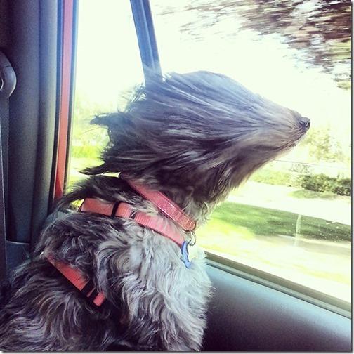 perros asomads a la ventanilla del coche (8)