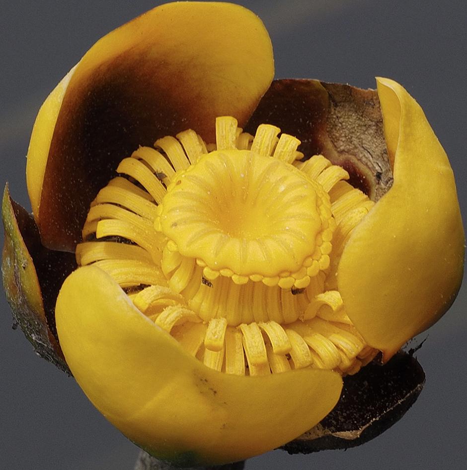 Кубышка малая (Nuphar pumila)