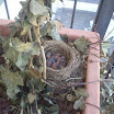 Vogelnest auf Zimmerbalkon 001.jpg