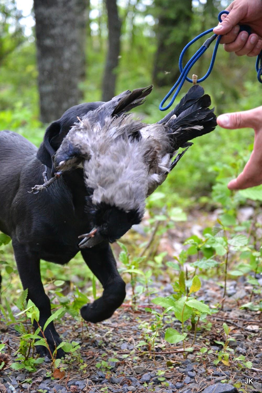 labradorinnoutaja kantaa varista