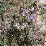 Zerynthia rumina (L., 1758). Plateau de Coupon (511 m), Viens (Vaucluse), 14 mai 2014. Photo : J.-M. Gayman