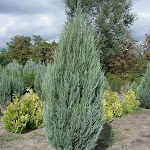 Juniperus virginiana sky rocket