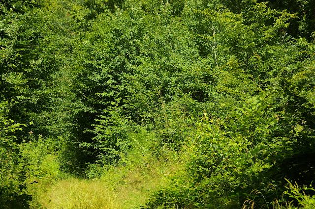 Allée forestière : biotope d'Aphantopus hyperantus, Ladoga camilla. Les Hautes-Lisières, 12 juillet 2009. Photo : J.-M. Gayman