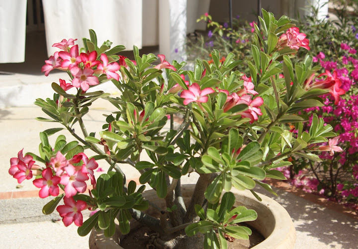 ma petite collection d'Adenium IMG_7326