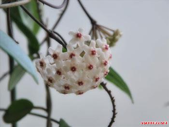 Thưởng thức hình ảnh hoa lan vũ nữ đẹp dịu dàng thanh khiết mê say lòng người