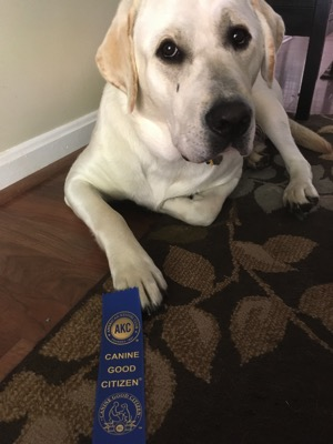 White Labrador Retriever with CGC ribbon