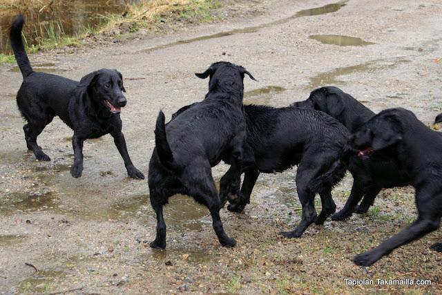 Labradorilauma