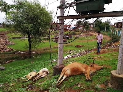 बिद्युत ट्रांस्फार्मर से निकले बिजली के नंगे तारों ने ली 3 गायों की जान