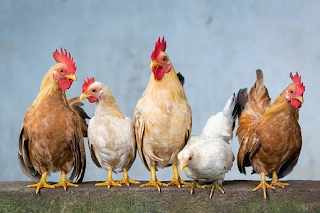 Cara Budidaya Ayam Arab Pedaging Wajib Dicoba
