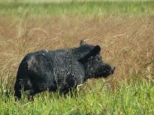 wild_boar_2L.jpg