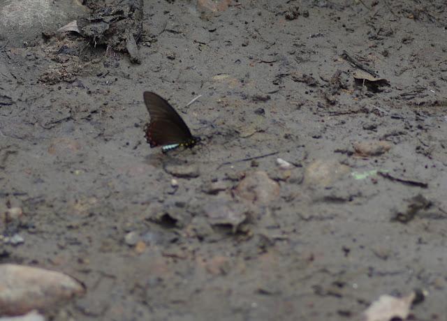 Battus ingenuus (Dyar, 1907). Fundo Palmarito, 265 m (Yopal, Casanare, Colombie), 8 novembre 2015. Photo : J.-M. Gayman