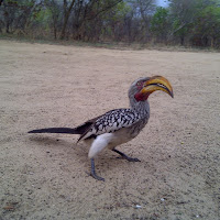 This friendly bird even ate out of our hand at the Khama Rhino Sanctuary