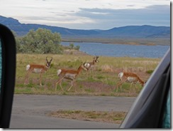 Pronghorn at Lucerne Valley Campground