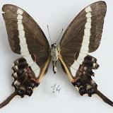 Graphium illyris girardeaui GUILBOT & PLANTROU, 1978, mâle, verso. Ebogo (Cameroun), avril 2013. Coll. et photo : C. Basset