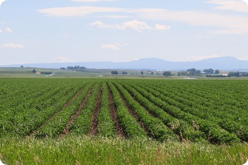 Idaho Potato Fields