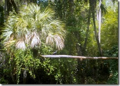 Anhinga on palm tree-2