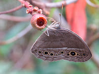 Dingy Bush Brown (Mycalesis perseus cepheus)