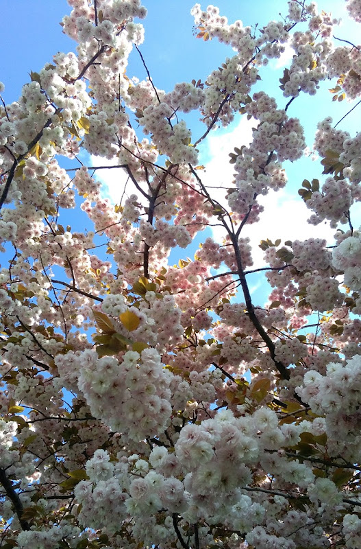 blossom and blue sky