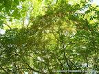 ドウダンツツジの森 空を覆う花々に感動する。 花期 6月初旬 ピーク1526南麓