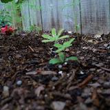 Gardening 2010 - 101_1192.JPG