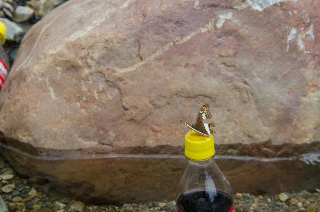 Adelpha alala HEWITSON, 1847. Nord de Coroico à 1003 m d'alt. (Yungas, Bolivie), 17 octobre 2012. Photo : C. Basset