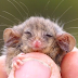 Little pygmy possum discovered on Kangaroo Island after fears bushfires had wiped them out