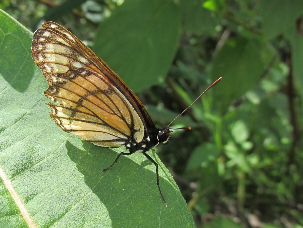 [IMG_6896-Viceroy-Butterfly-46]