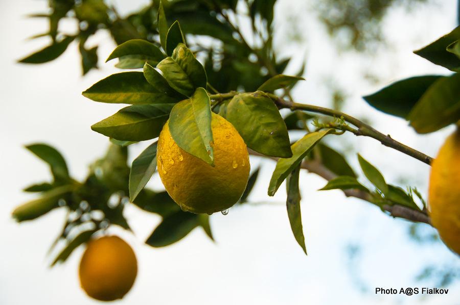 Апельсин. Гид в Израиле Светлана Фиалкова.