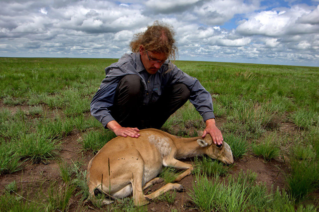 Saiga ecology expert Steffen Zuther examines a dying female Saiga antelope after the 2015 die-off in Kazakhstan. Photo: Sergei Khomenko / FAO