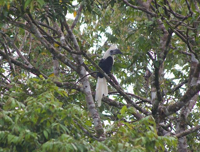 Calao à couronne blanche (Berenicornis cornatus RAFFLES, 1822, Bucerotidae). Sukau (Sabah), 13 août 2011. Photo : J.-M. Gayman