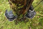 PATES D'EPH   Champignons saprophytes sur du bois mort
