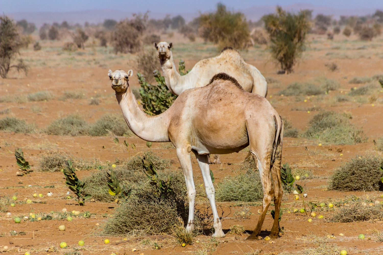 wild camels sahara desert sudan