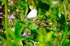 Grønåret kålsommerfugl