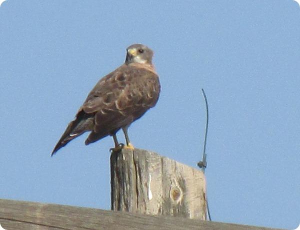IMG_8536 Swainson's Hawk Bird (1)
