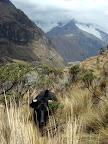 Cow on Laguna 69 Trek (Cordilleras Mountains, Peru)