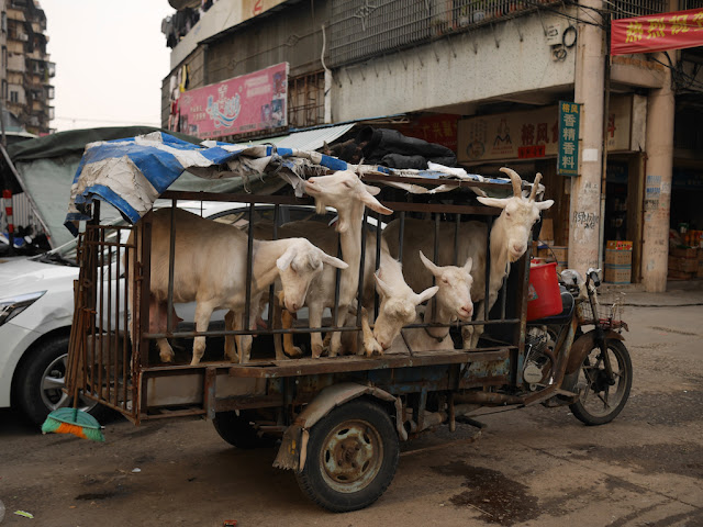 Five goats on a parked motorbike tricycle cart. One goat is eating the tarp on top of the cart.